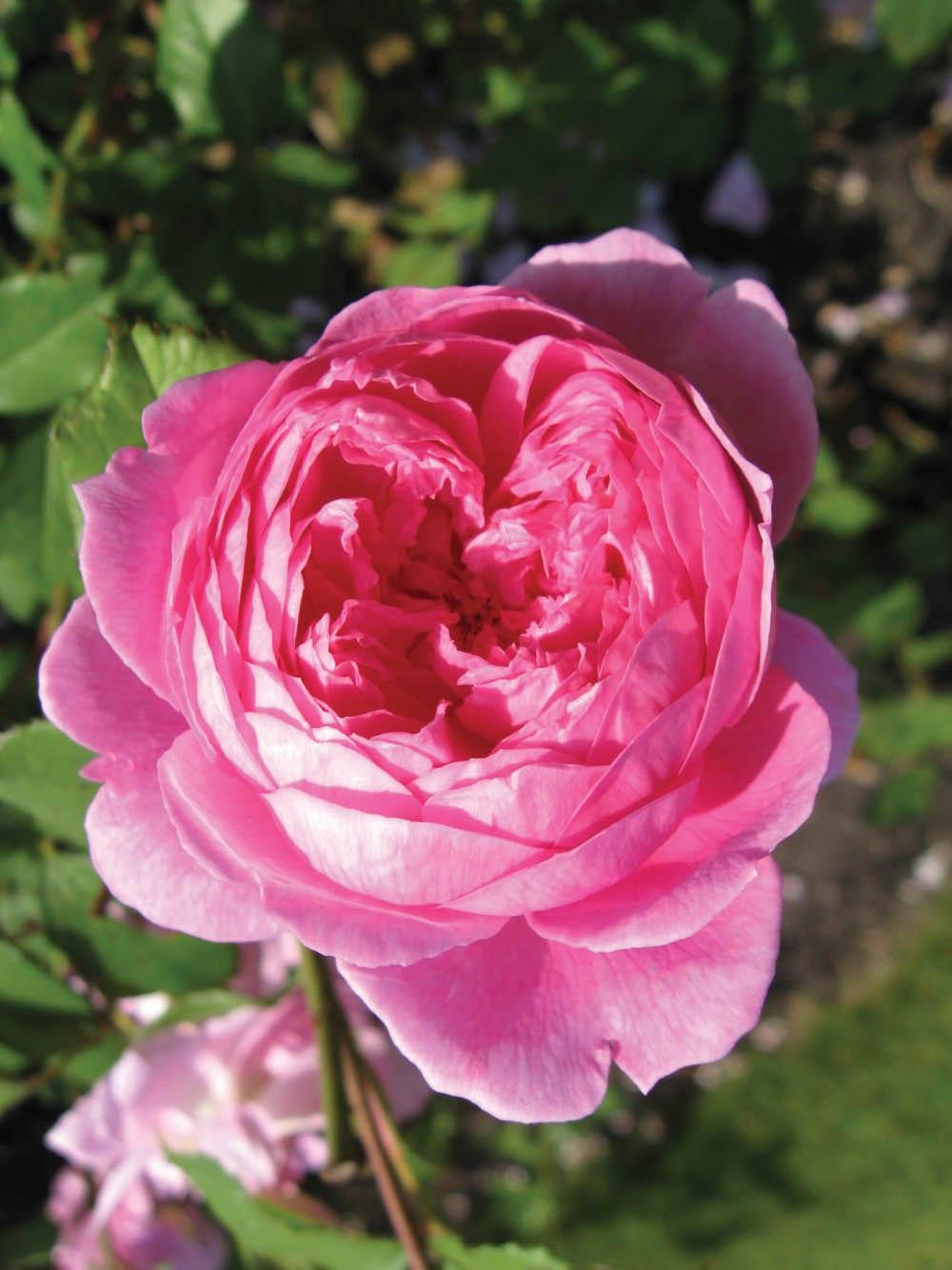 A dark-pink David Austin rose bloom.