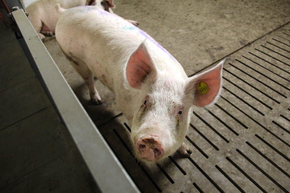 Hog Watch is arguing that animal units should be based on barn capacity, not the physical number of pigs.