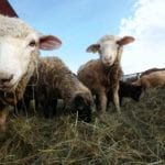 Sheep producers at auction were looking to reduce herds to manage winter feed costs.