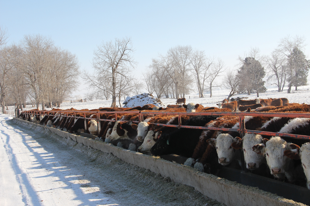 Serious consequences can result from not providing pregnant cows with enough protein during the winter.