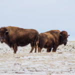The bison code of care covers topics not seen in other livestock.