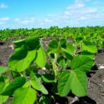 Dry spell pares Brazil soybean estimates as crop ratings slide