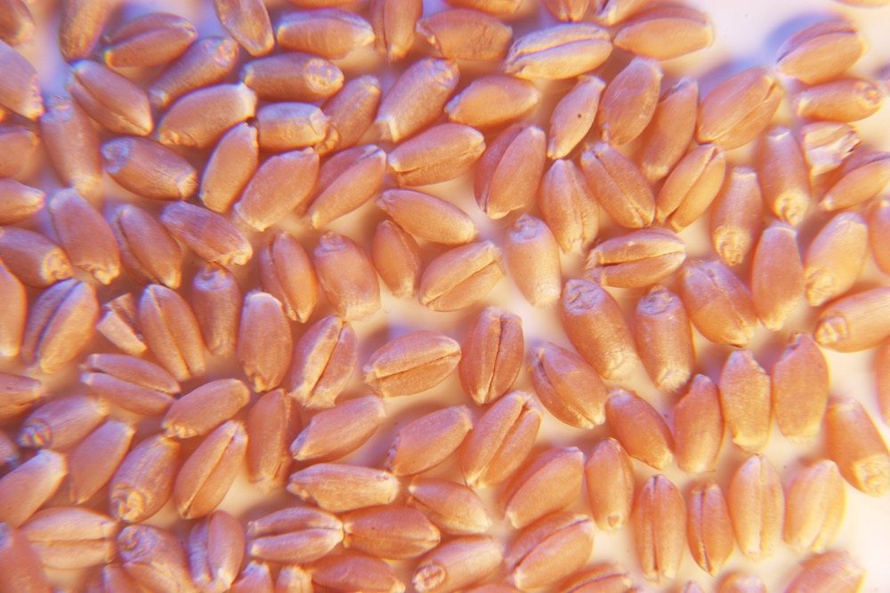 Canada Prairie Spring Red wheat bids were stronger, increasing by around $3-$5 per tonne.