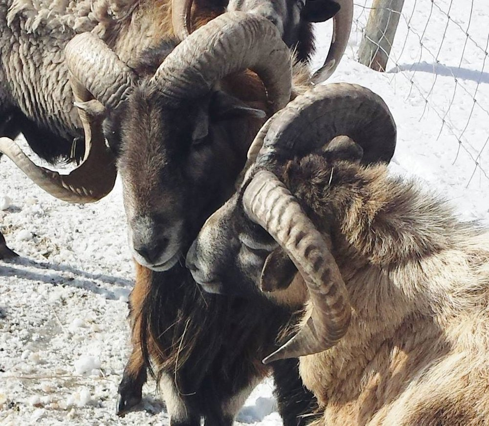 Their Blackbelly sheep have horns much like the bighorn sheep in the Rockies.