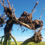Root galls are the only way to know if a dead patch in your canola field is clubroot.
