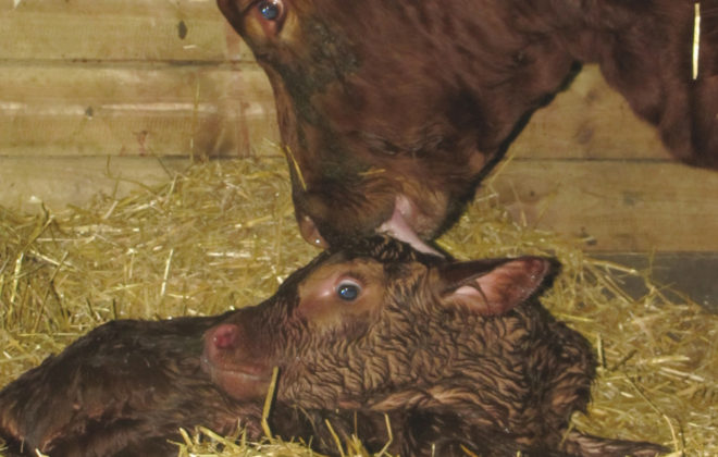 This winter's snowfall and bone-chilling temperatures have created difficult calving conditions.