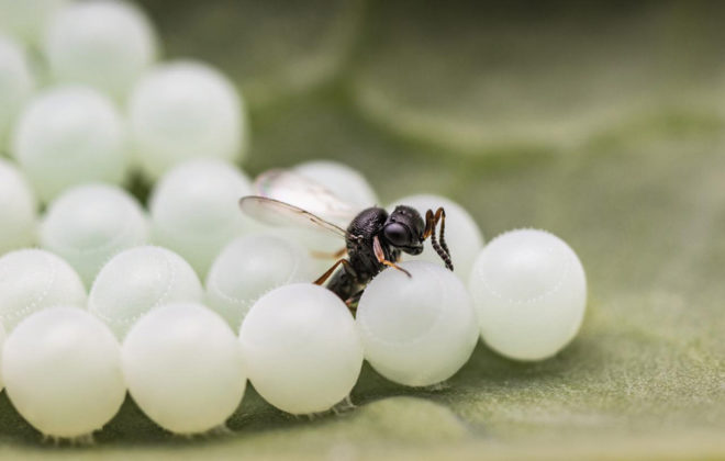 A samurai wasp lays an egg inside a brown marmorated stink bug egg. The samurai wasp's offspring will develop inside the pest's egg and emerge as an adult wasp.  PHOTO: WARREN WONG, SIMON FRASER UNIVERSITY