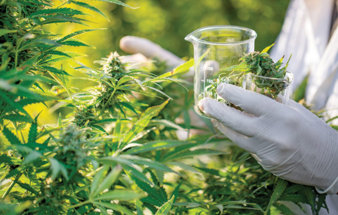 University of California researchers say growing cannabis compounds may be supplanted by producing them using yeast.