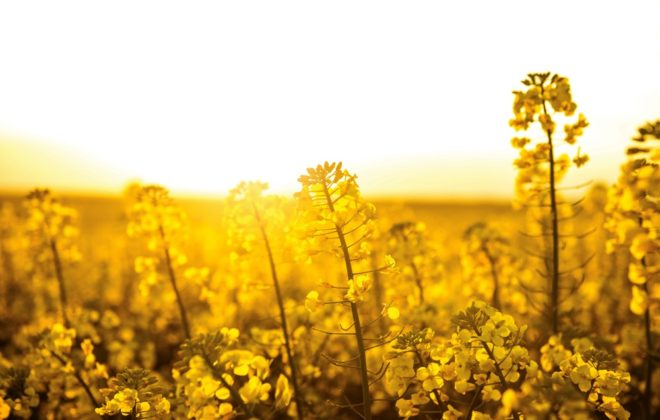 Blooming canola field at sunset
