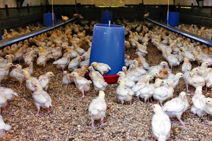 Many chickens around feeder
