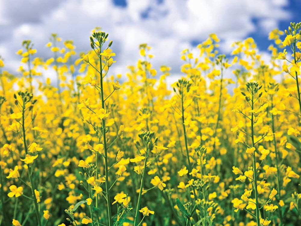 Since GM canola was first grown in 1996, numerous 'escapes' of all kinds of GM products have been observed.