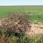 Kochia or tumbleweeds can spread across fields by the tumbling action and get caught in fencelines. This is an example of landscape-scale weed spread issues.