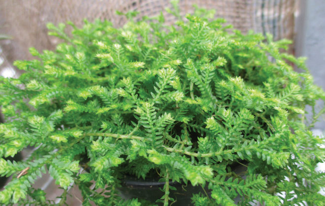 Clubmoss can be used in many ways indoors.