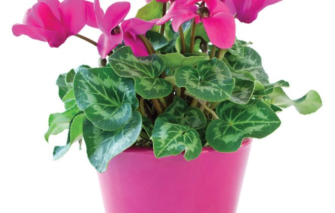 The cyclamen
