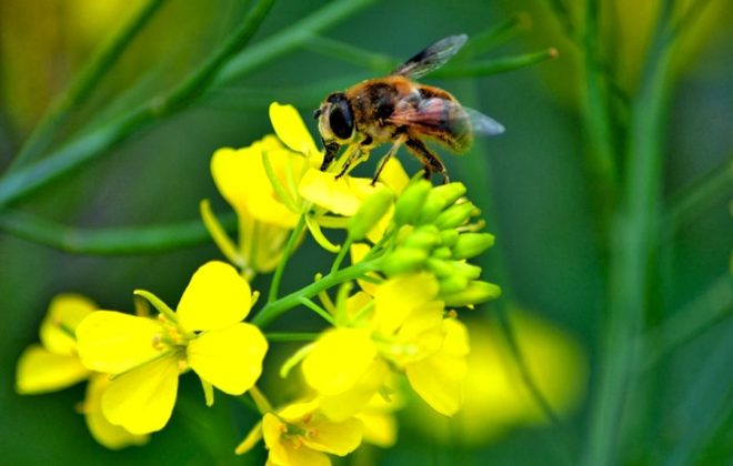 """PMRA's re-evaluation decision confirms that in the vast majority of cases, neonics can be used effectively by farmers without unnecessary risk to pollinators."" – Pierre Petelle, CropLife Canada"