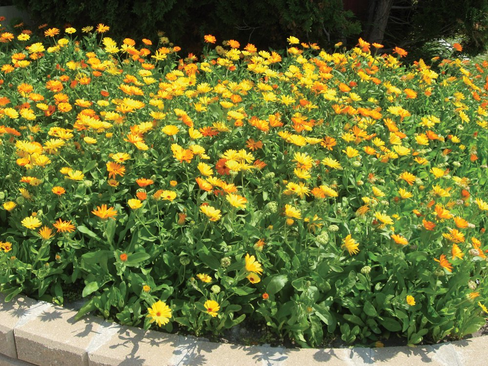 Calendula is a great annual for a patch garden.