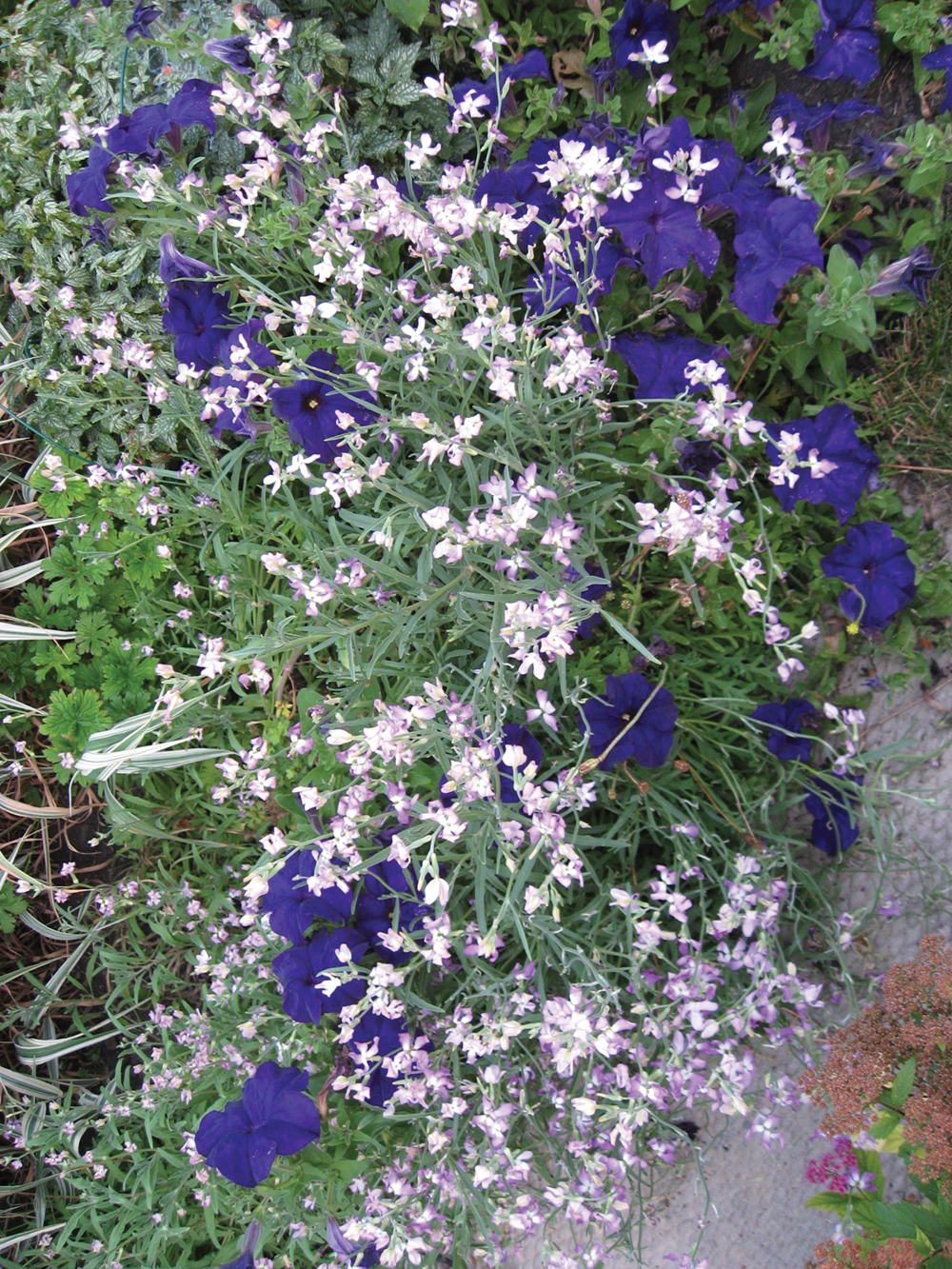 Evening Scented Stocks are combined here with dark-purple petunias.