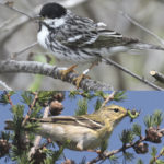 Blackpoll warblers (male top, female bottom) fly up to 10,700 km between their winter and summer homes.
