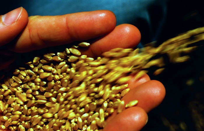 Wheat seeds spilling from hand, close-up