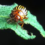 Common insecticides are having less of an impact on potato beetles in recent years.