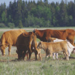 Cattle in the Interlake graze parched pastures as producers eye their stunted hayfields with concern.