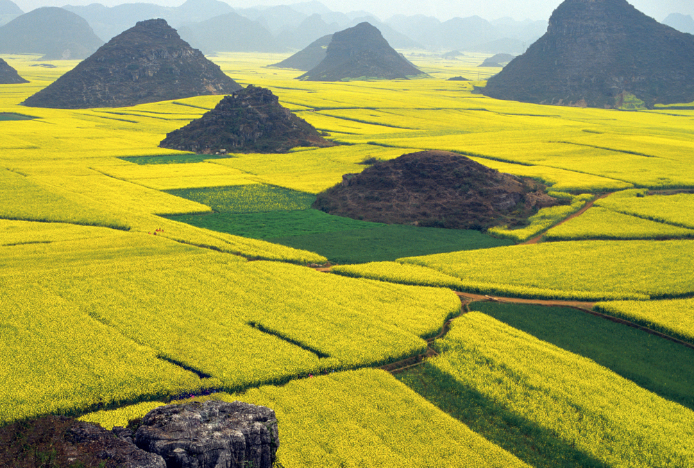 rapeseed crops in China