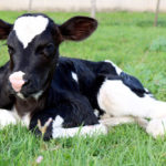 Male dairy calves will require a longer stay on their birth farm before shipping.