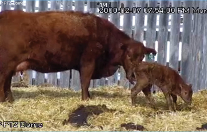 Colin Palmer uses his PTZ (pan, tilt, zoom) camera system to monitor calving pens. The camera system is a step up from his first forays into fixed-view cameras and allows him to read ear tags from up to 140 feet away.
