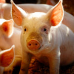 PED is a potentially devastating disease and can cause 80 to 100 per cent of piglet losses.