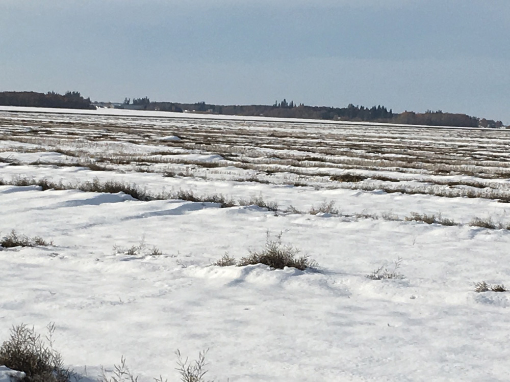 Canola swaths under snow after a freak snowstorm in Manitoba Thanksgiving weekend.