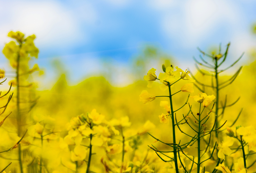 Canola production on the Prairies takes a weather hit