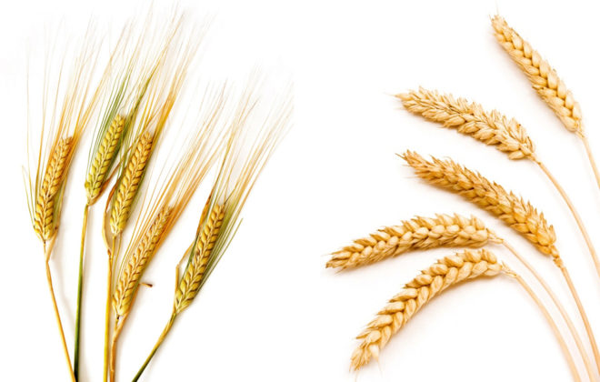 Manitoba Wheat and Barley Growers seeks director nominees