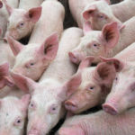 Groups call for international response to African swine fever