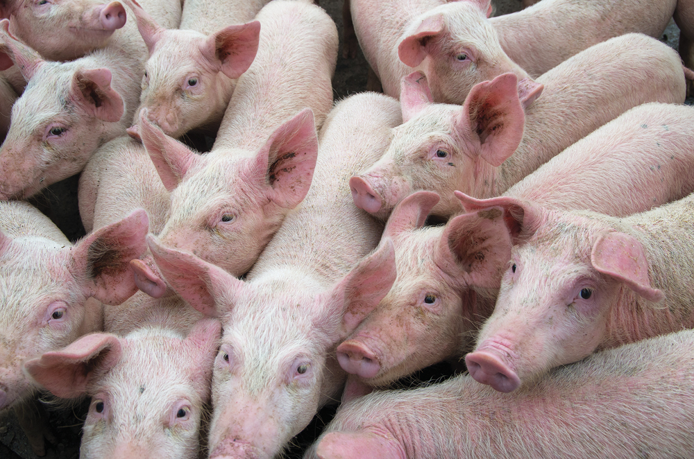 With livestock diseases like African swine fever sweeping the globe, Canada is planning an industry-government partnership.