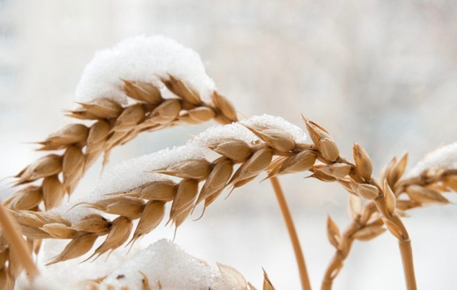 File photo of wheat under snow. (Ssvyat/iStock/Getty Images)