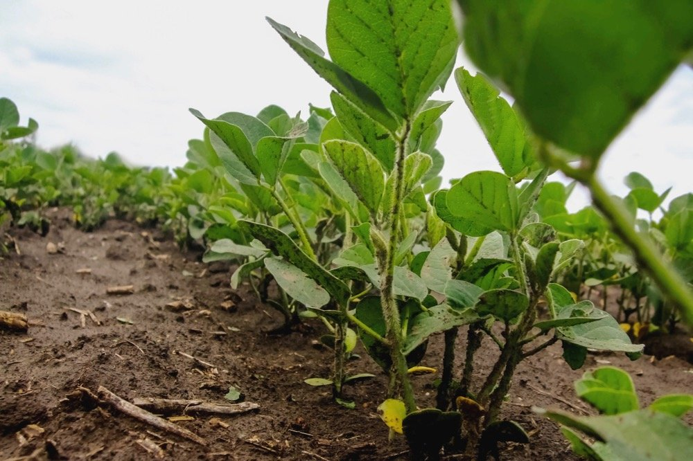 File photo of young plants in a soybean field in Argentina. (Gracieross/iStock/Getty Images)
