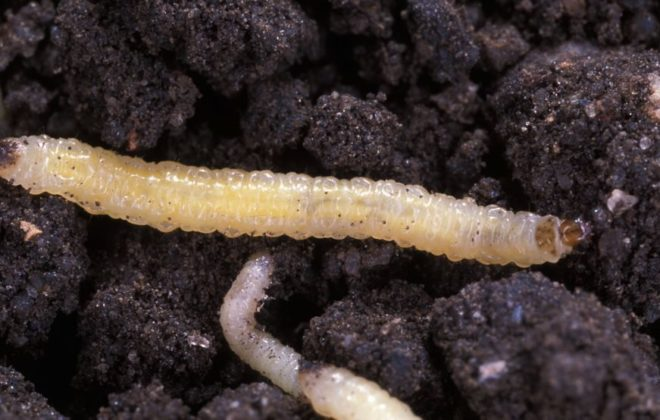 Western corn rootworm larvae. (Scott Bauer photo courtesy ARS/USDA)