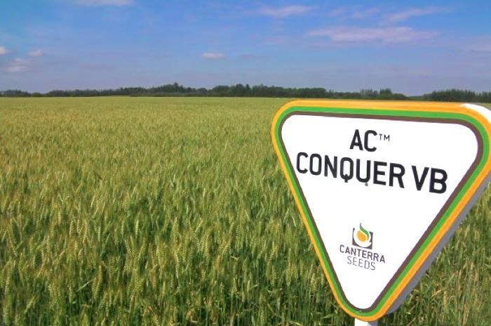 Canterra, which has already worked with AAFC-bred CPSR varieties such as AC Conquer VB, has entered a partnership with AAFC and the Alberta Wheat Commission for future CPSR development. (Canterra.com)