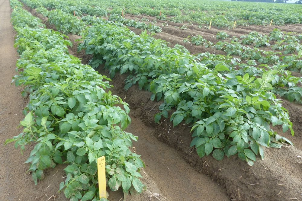 Eugenia Banks, a consultant with the Ontario Potato Board, has test plots featuring Spartan Chipper (pictured) and AAC Glossy, a fresh market potato. (Photo courtesy Eugenia Banks)