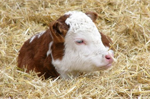 (Photo courtesy Canadian Hereford Association)