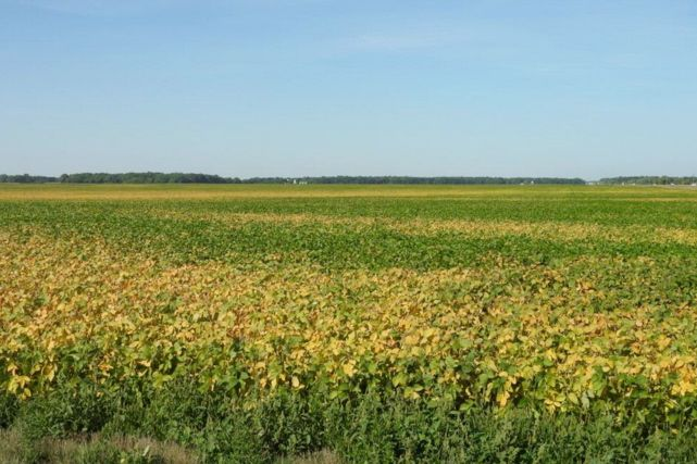 Many soybean fields are showing signs of injury, including patches of premature yellowing, says Manitoba Agriculture plant pathologist Holly Derksen. In many cases the cause could be a combination of stressors. (Photo courtesy Holly Derksen, Manitoba Agriculture)