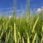 Barley south of Ethelton, Sask. on Aug. 3, 2017. (Dave Bedard photo)