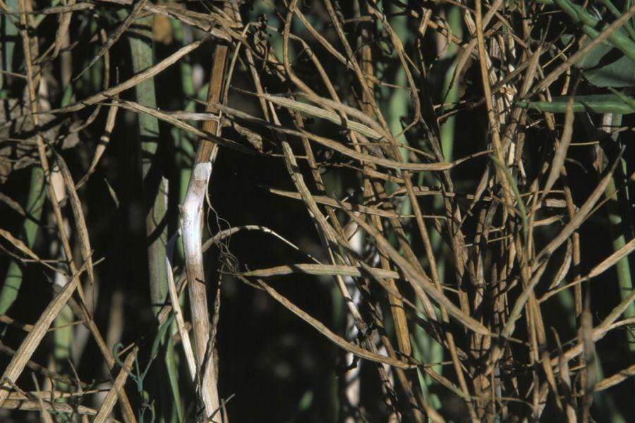 Sclerotinia in canola. (Photo courtesy Canola Council of Canada)