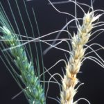 Fusarium posing major problem for Manitoba crops