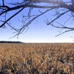 Corn west of Mitchell, Man. on Oct. 17, 2018. (Dave Bedard photo)
