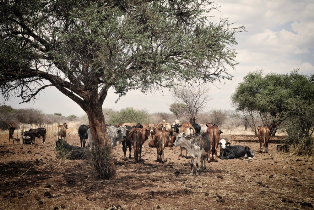 File photo of cattle seeking shade in Namibia. (Brytta/iStock/Getty Images)