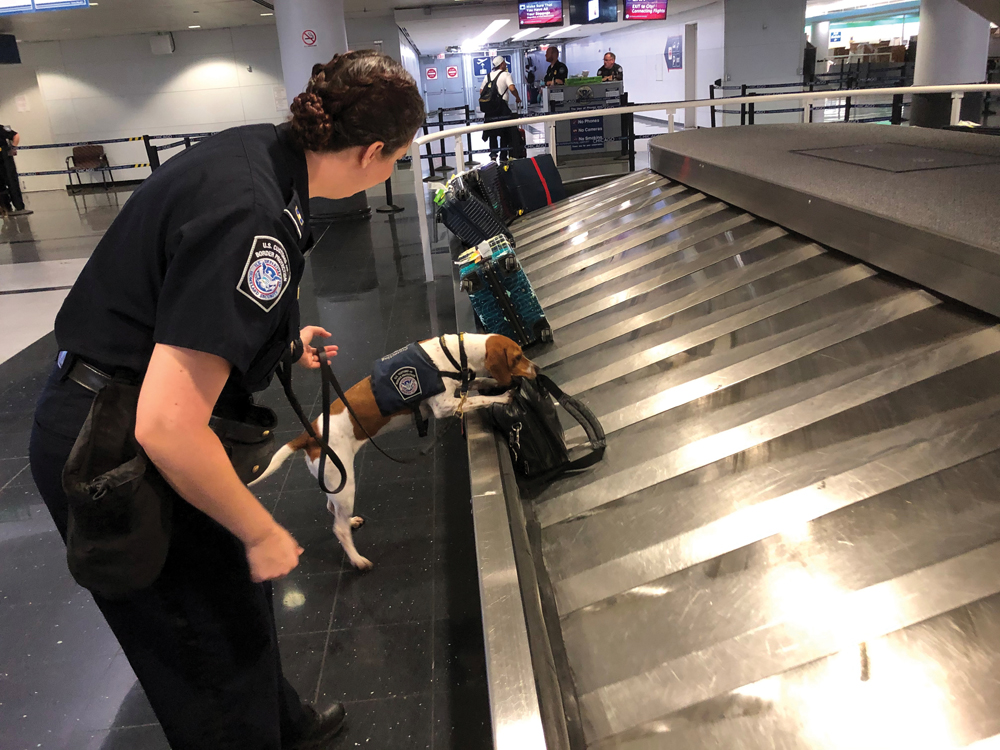 Jessica Anderson, an agricultural specialist for U.S. Customs Border and Protection, works with a beagle named Bettie to sniff out banned pork products at O'Hare International Airport in Chicago.