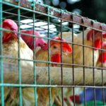 China's chicken chain comes unstuck