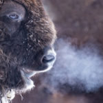 A Manitoba bison producer says a new pilot project is making exporting his animals far easier.