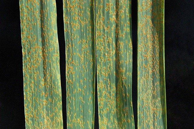 Wheat leaf rust. (James Kolmer photo courtesy ARS/USDA)